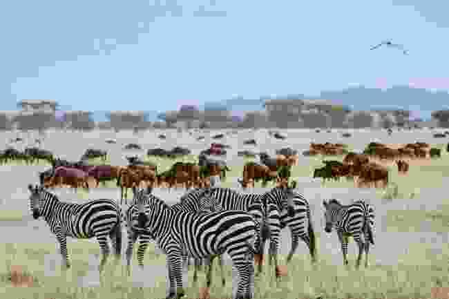 The Great Migration of wildebeest and zebra begins in Tanzania, Africa (Shutterstock)