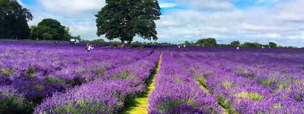 Mayfield Lavender (Shutterstock)