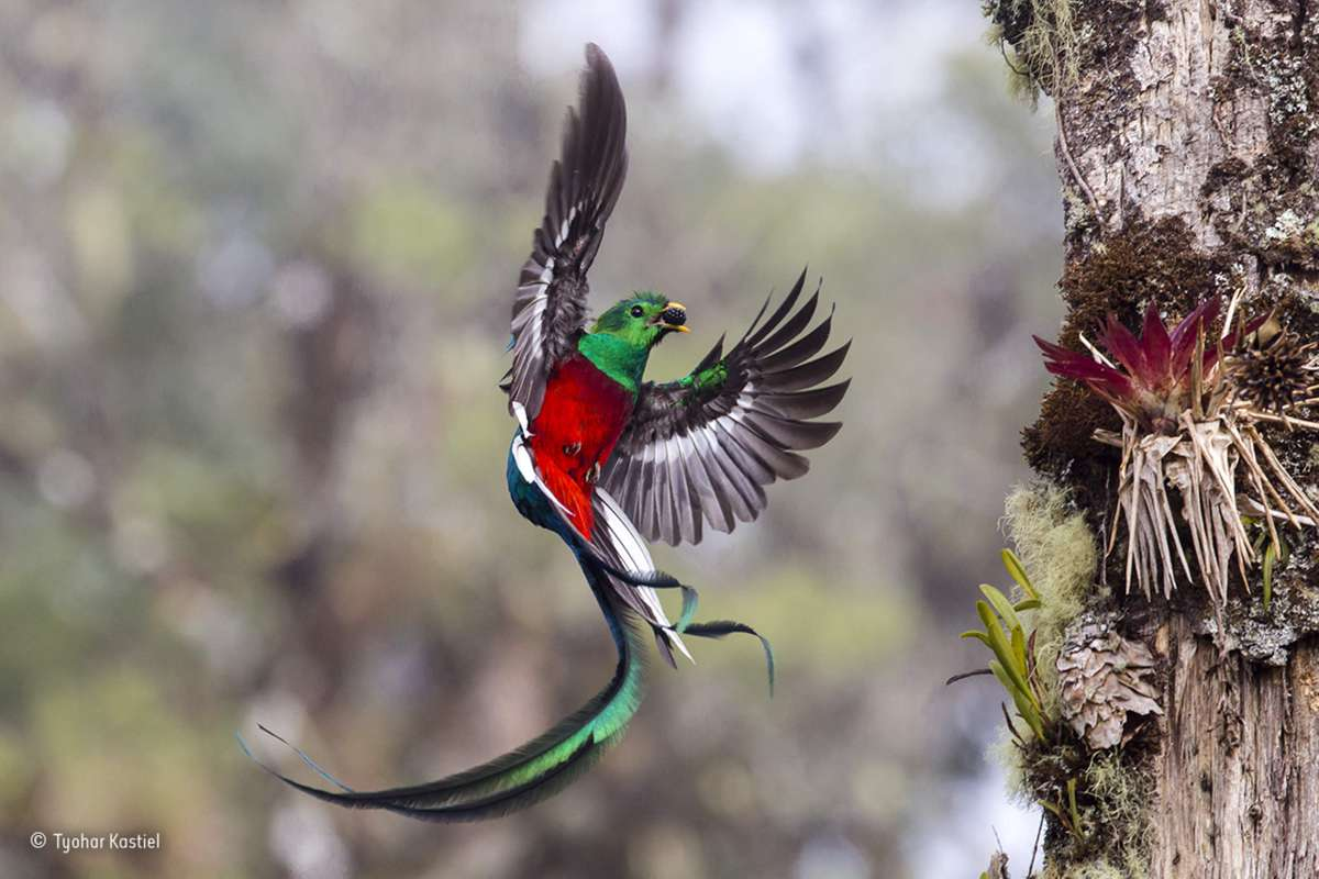 Resplendent Delivery. Finalist 2017, Behaviour: Birds (Tyohar Kastiel)