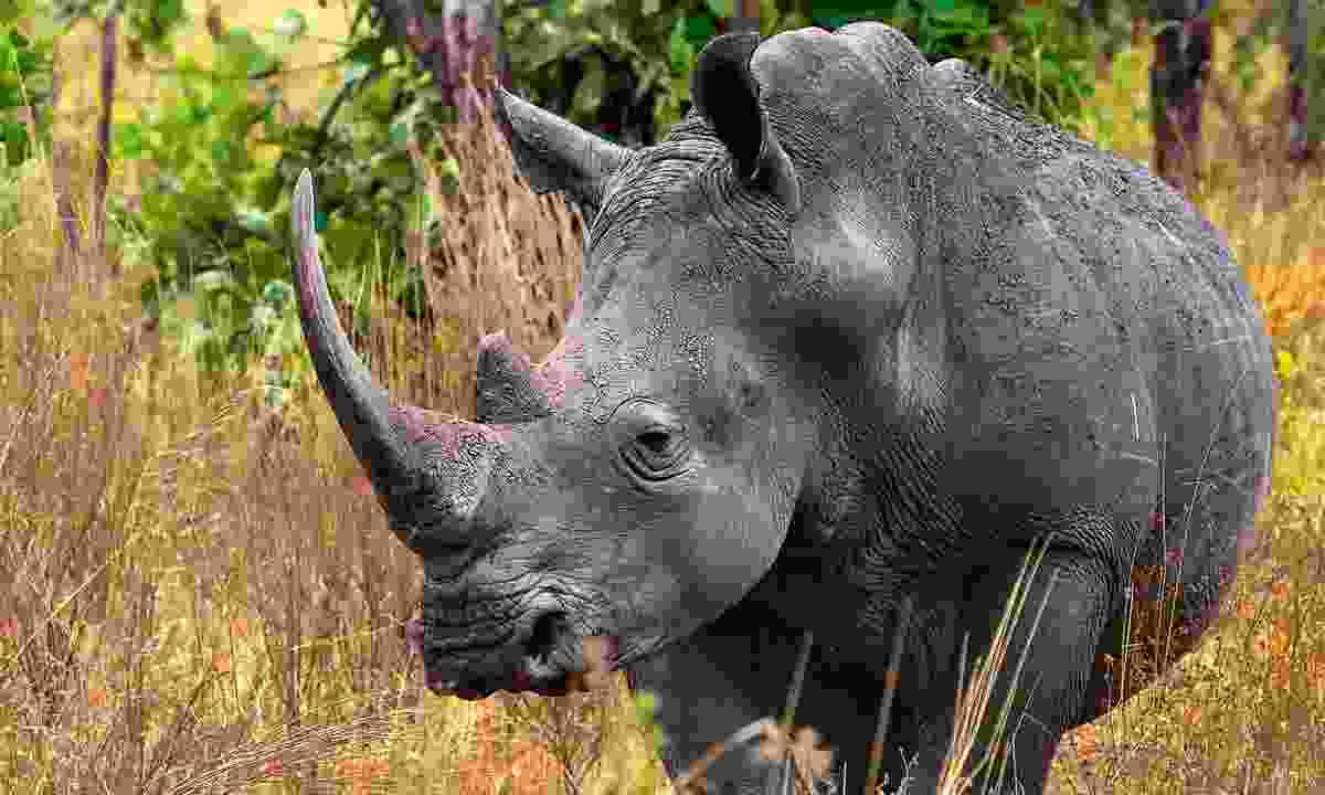 A rare white rhino saunters through Meru National Park, Kenya (Dreamstime)