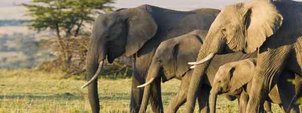 Elephants in Kenya (Shutterstock)