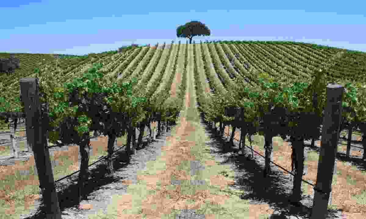 A vineyard in the Edna Valley (Shutterstock)