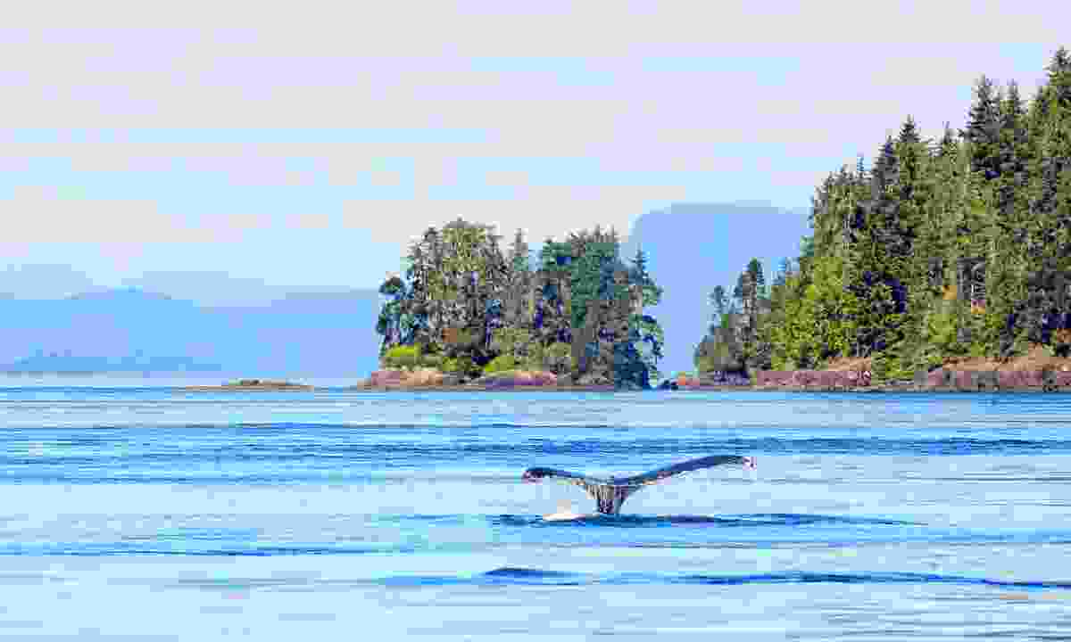 An orca off the coast of Vancouver Island (Shutterstock)