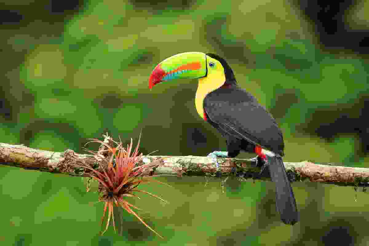 A colourful keelbilled toucan in Costa Rica (Shutterstock)