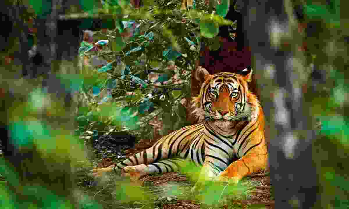 A large male tiger in Ranthambhore National Park, India (Dreamstime)