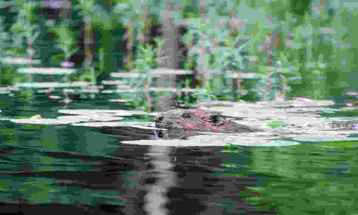 A beaver swims in the water (Phoebe Smith)