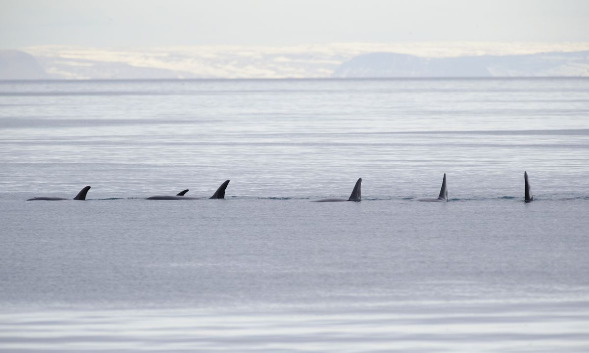 Orcas in Iceland in winter (Dreamstime)