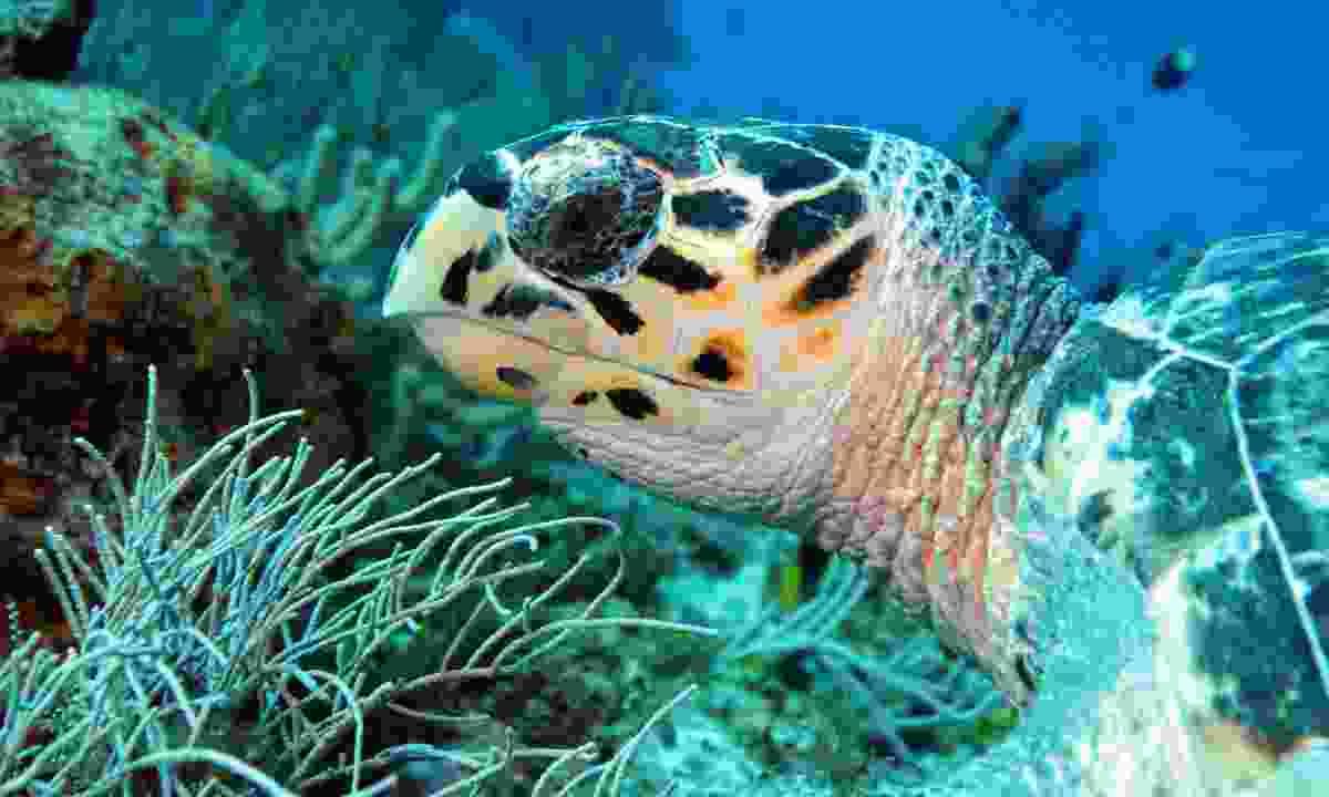 Hawksbill turtle in Cozumel (Dreamstime)