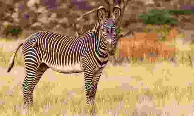 A rare Grevy's zebra in Buffalo Springs Nature Reserve (Shutterstock)