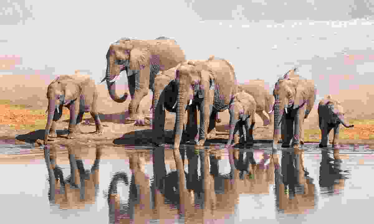 Family of African elephants drinking at a waterhole in Etosha National Park (Shutterstock)