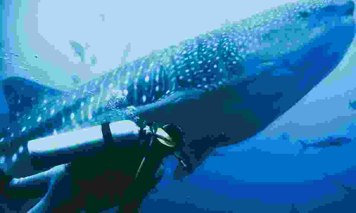 Diving with Whale Sharks near Wolf and Darwin islands  (Shutterstock)