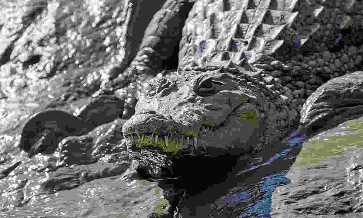 Watch out for the huge Nile crocodiles when on safari in Abuko Nature Reserve (Dreamstime)