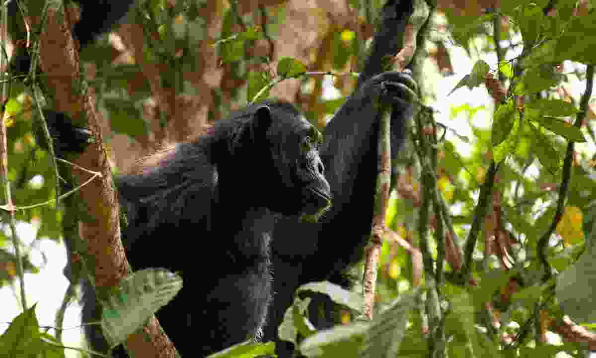 A chimp in the trees (Emma Gregg)