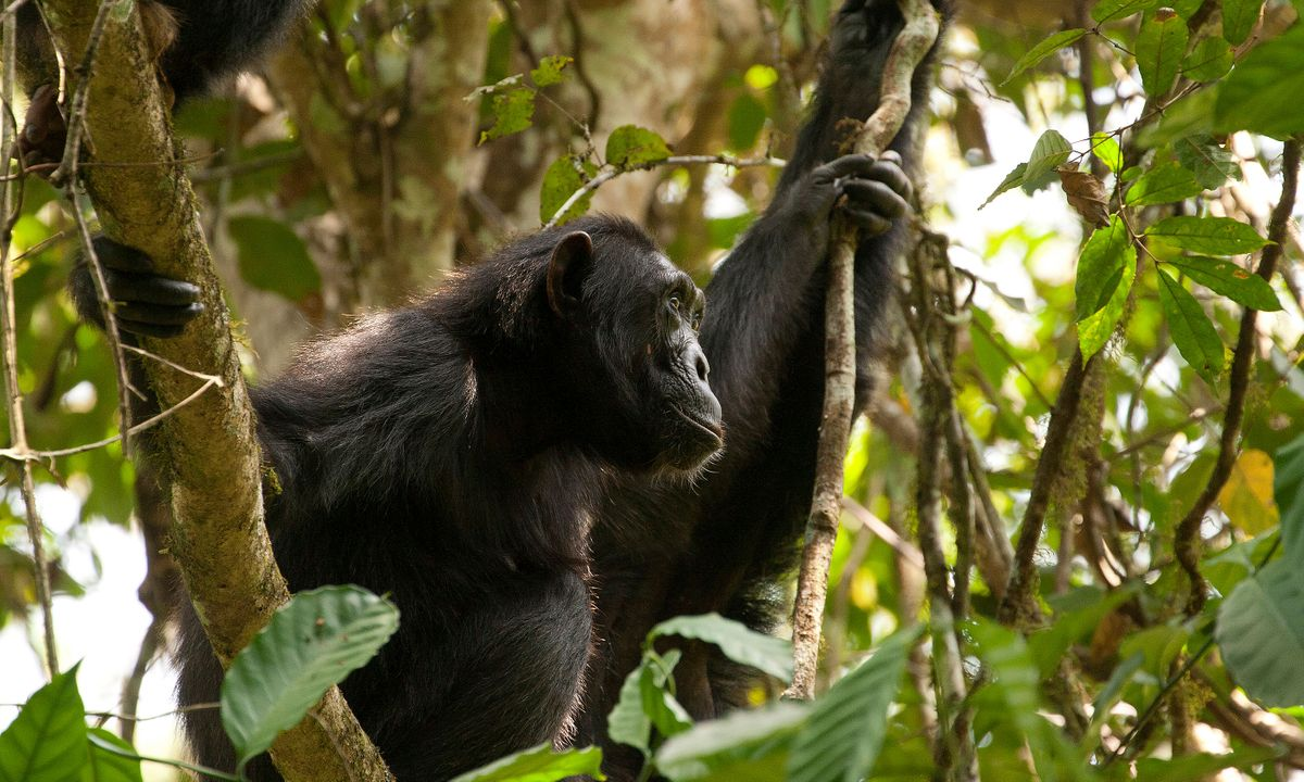 Close encounters: How you can spend a day with chimps in