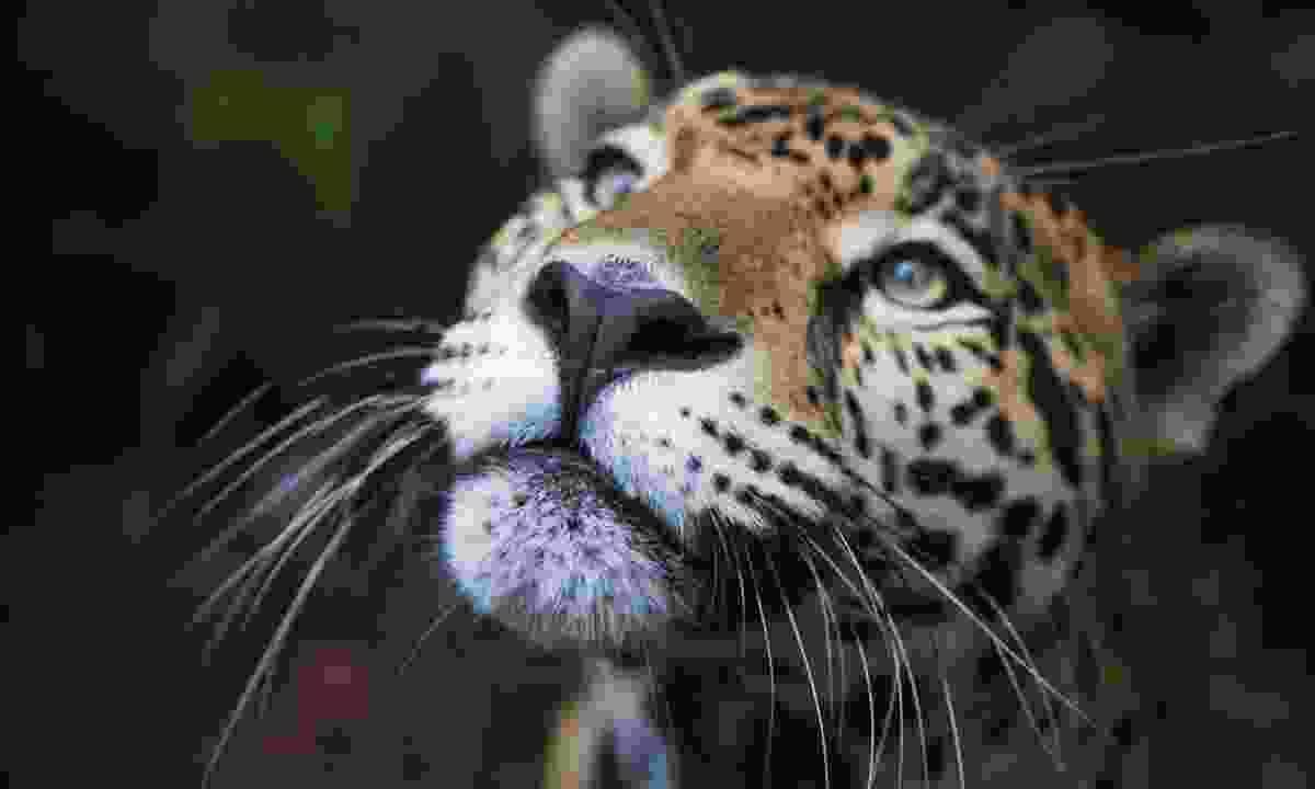 Jaguar (Dreamstime)