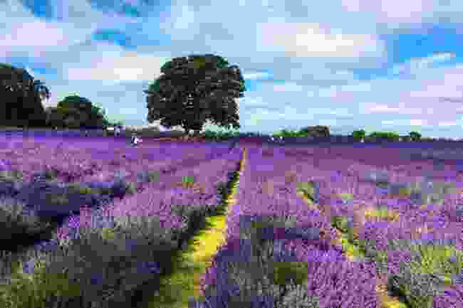 Mayfield Lavender fields in Banstead, Surrey (Shutterstock)