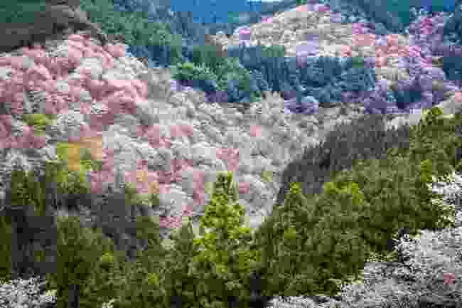 Admire Yoshino's cherry blossoms (Shutterstock)