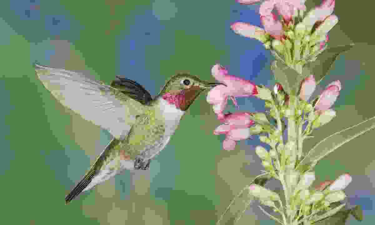 A broad-tailed hummingbird (Shutterstock)