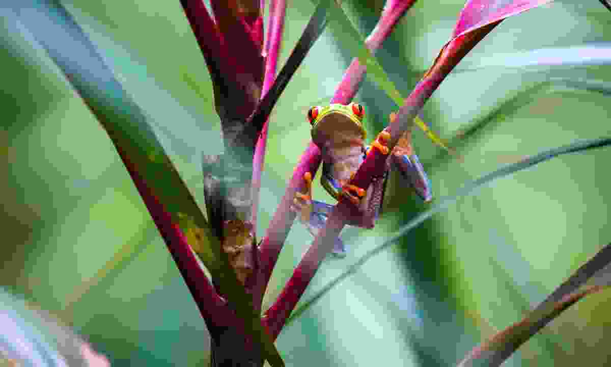 You'll find loads of tree frogs in Costa Rica
