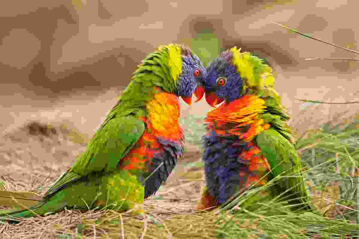 Two rainbow lorikeets, who often appear in Oceanic countries like Vanuatu and Papua New Guinea (Shutterstock)