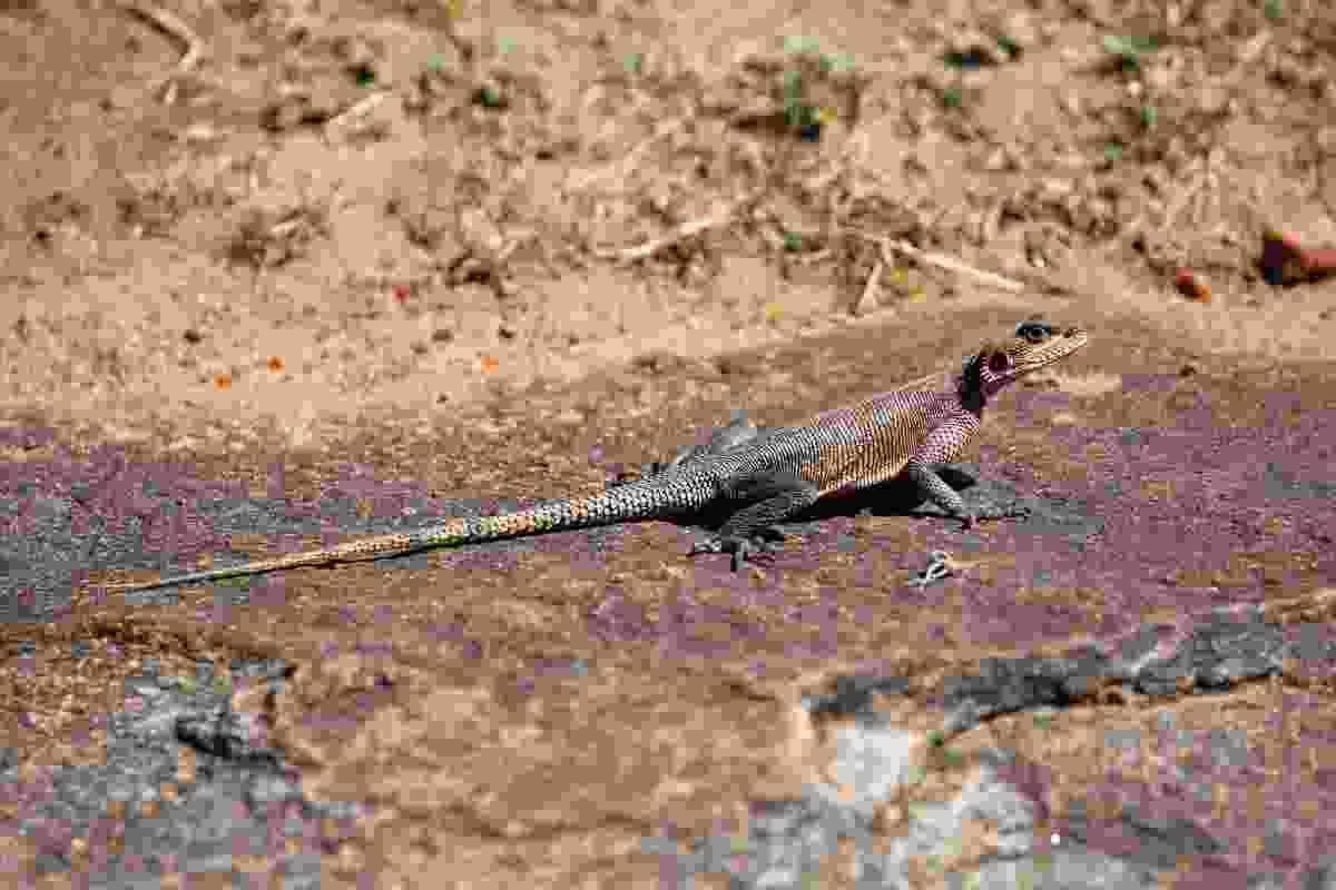 A lizard baking in the sun, Mara Naboisho Conservancy, Kenya (Graeme Green)