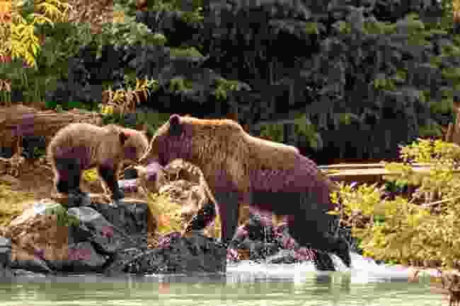 Brown bears, Alaska, USA (Shutterstock)