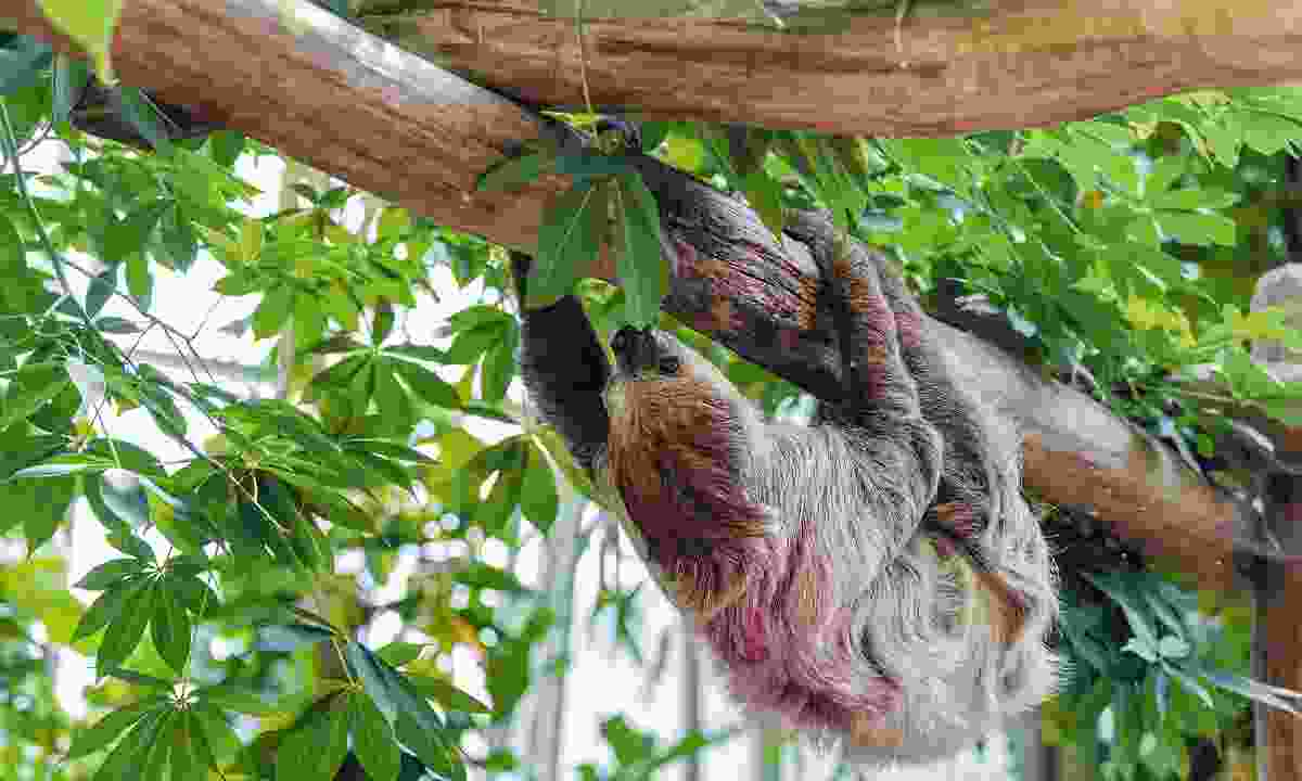 Not so lazy: Sloths in the wild sleep nowhere near as long as their reputation suggests (Dreamstime)