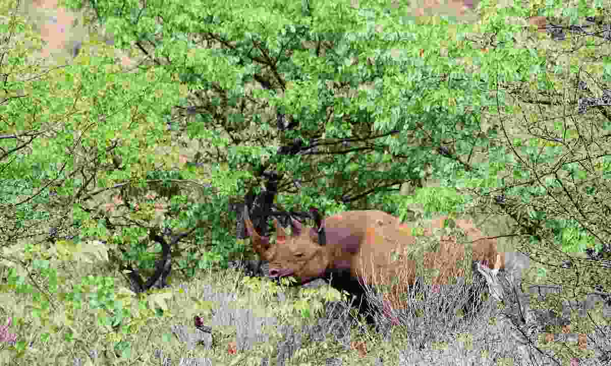 Black rhino (Sarah Gilbert)