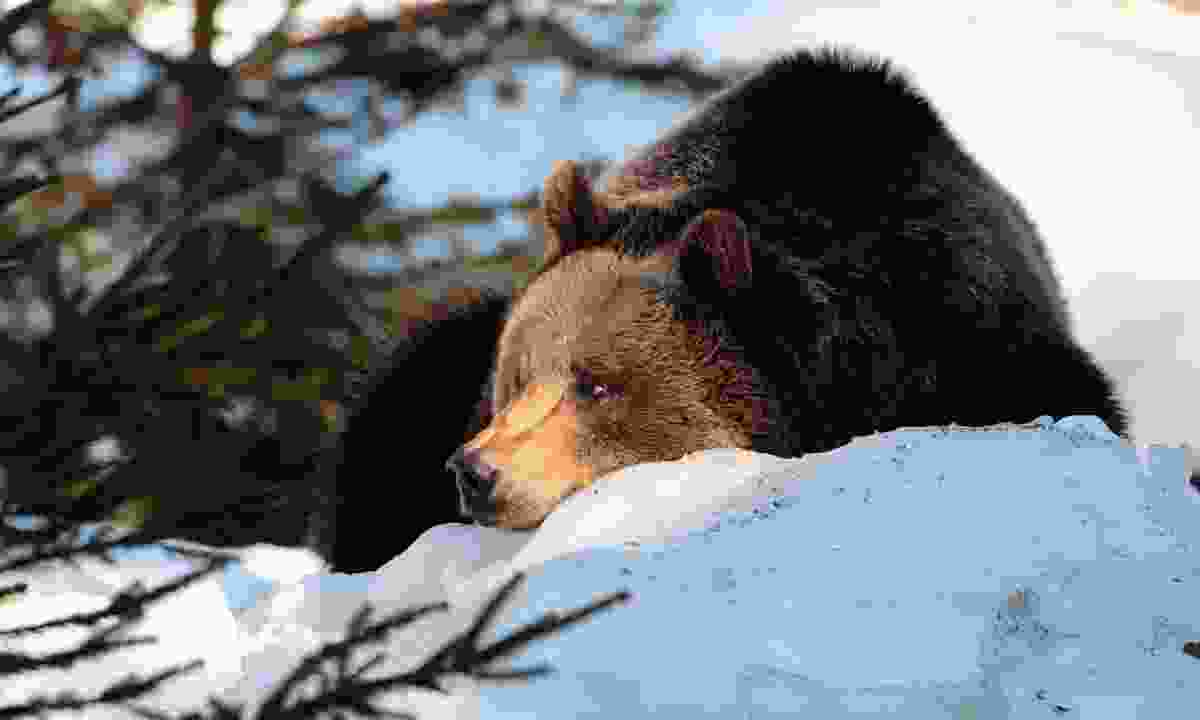 Wild brown bear in the snow (Dreamstime)