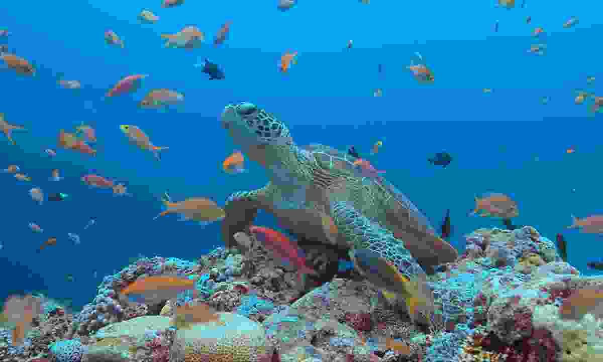 A turtle in Tubbataha (Shutterstock)