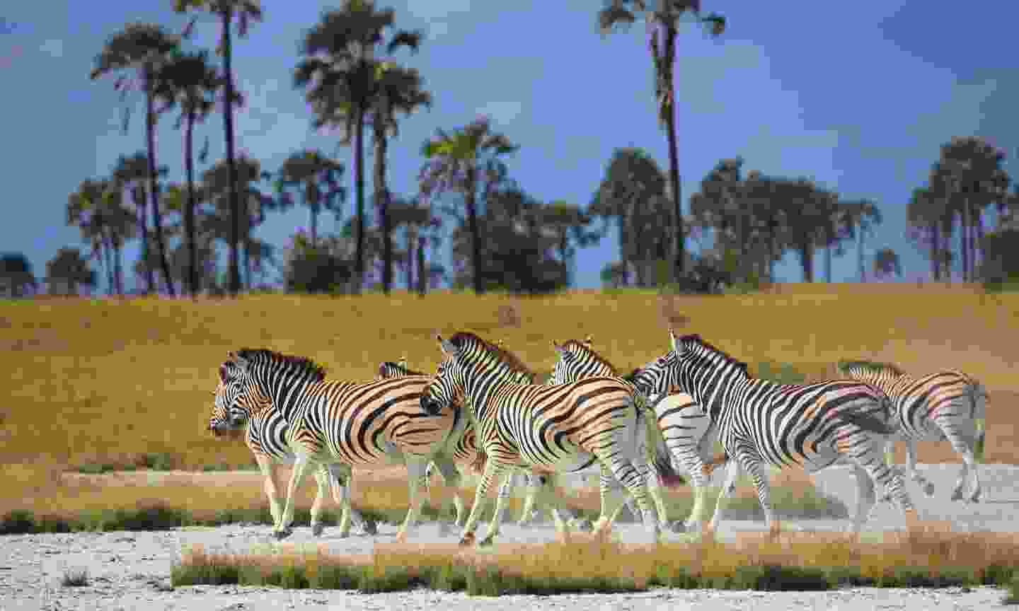 Zebras on the move in Makgadikgadi Pans National Park (Shutterstock)