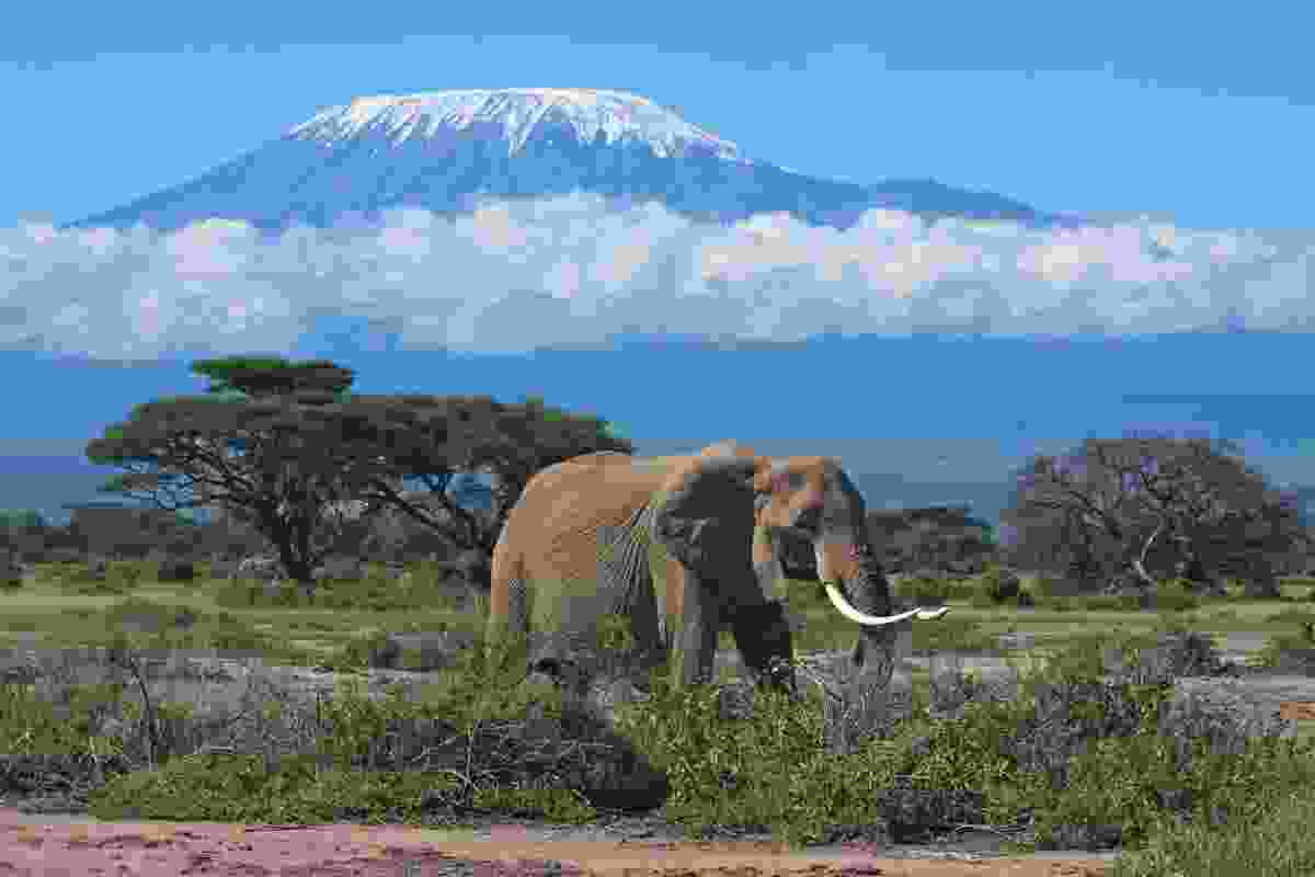 An elephant strolling in front of Mount Kilimanjaro (Shutterstock)