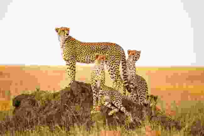 Cheetahs watching prey in Serengeti National Park (Shutterstock)