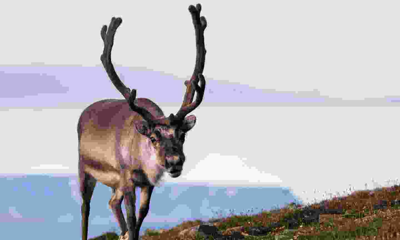 Male reindeer walking through Bjorndalen in the summer (Dreamstime)
