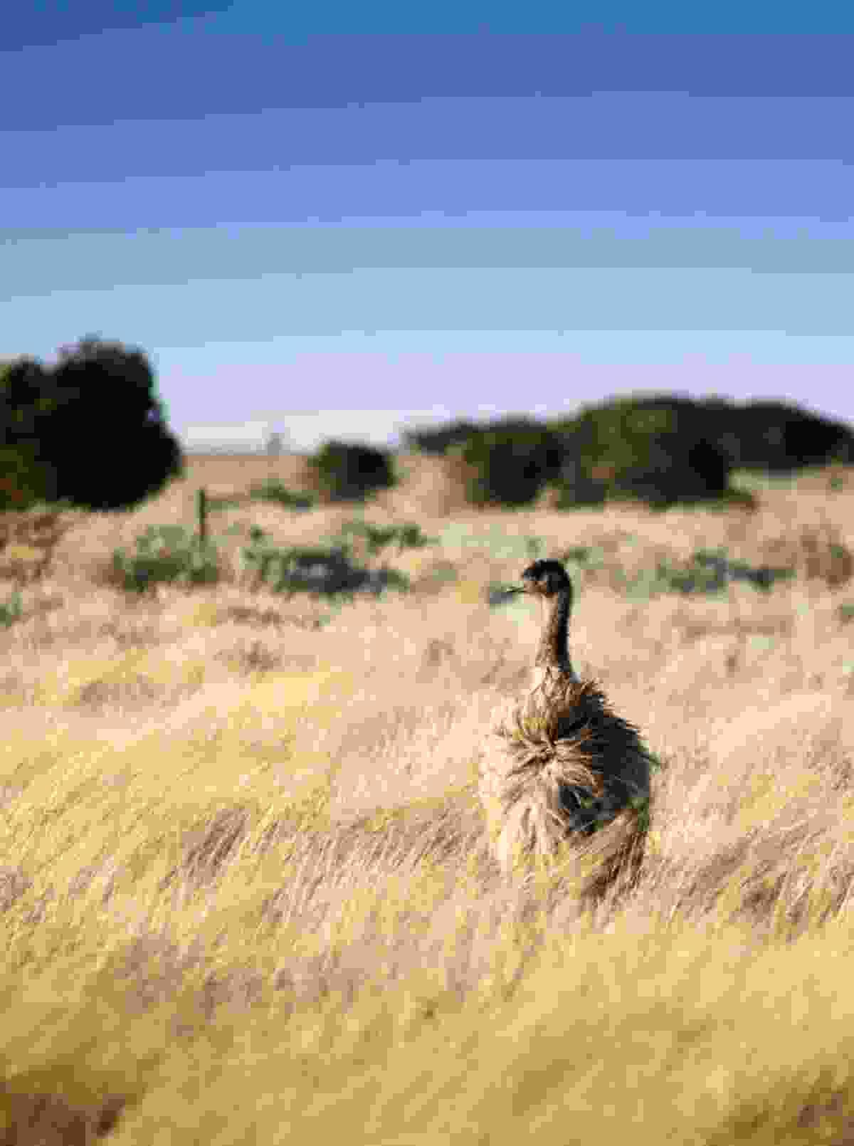 Emu in the Australian outback (Dreamstime)
