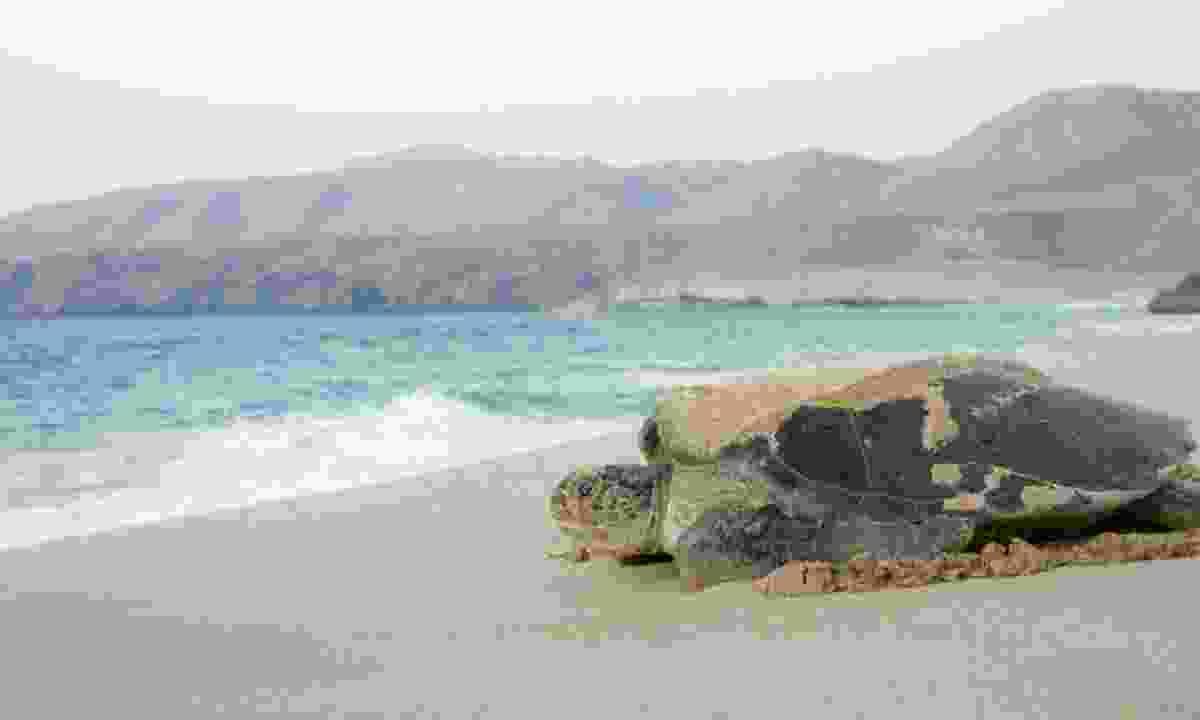A green turtle nests on Ras Al Jinz beach (Dreamstime)