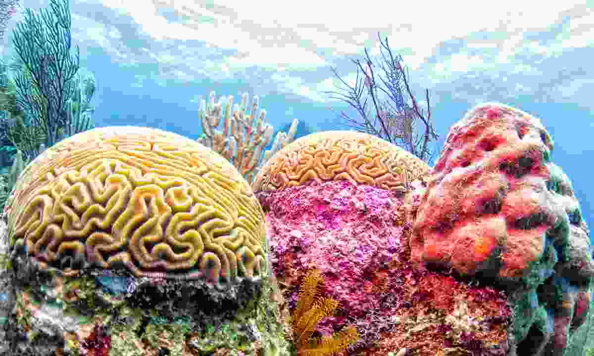 Colourful brain coral seen while diving the Belize coral reef (Dreamstime)