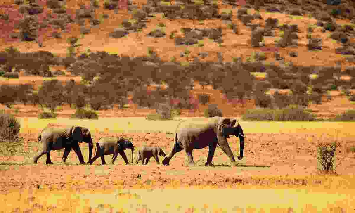 Elephant family walking in Namibian desert (iStock)
