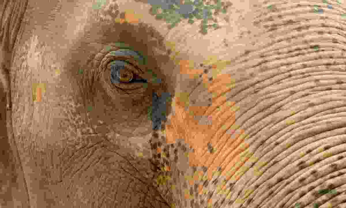 An elephant's eye, a window to the soul. Kanchanaburi, Thailand (Julia Wainwright)