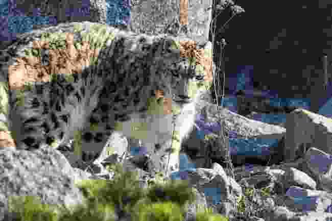 Snow leopard in Ladakh, India (Shutterstock)
