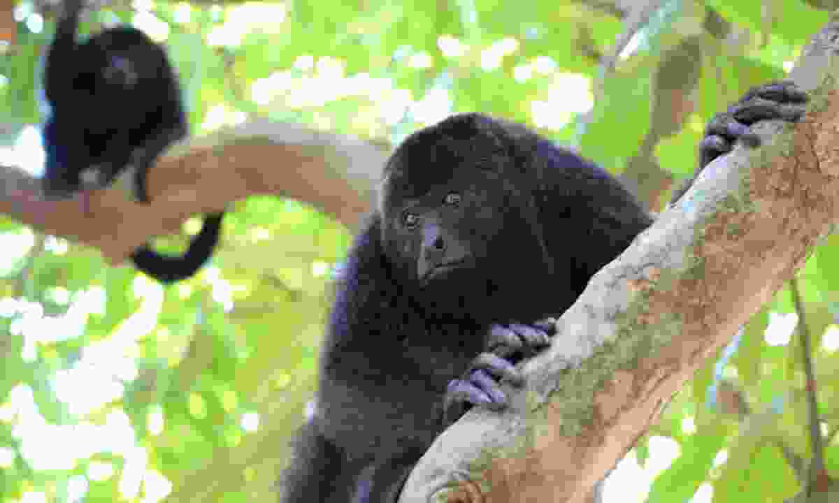 Black howler monkeys (Dreamstime)