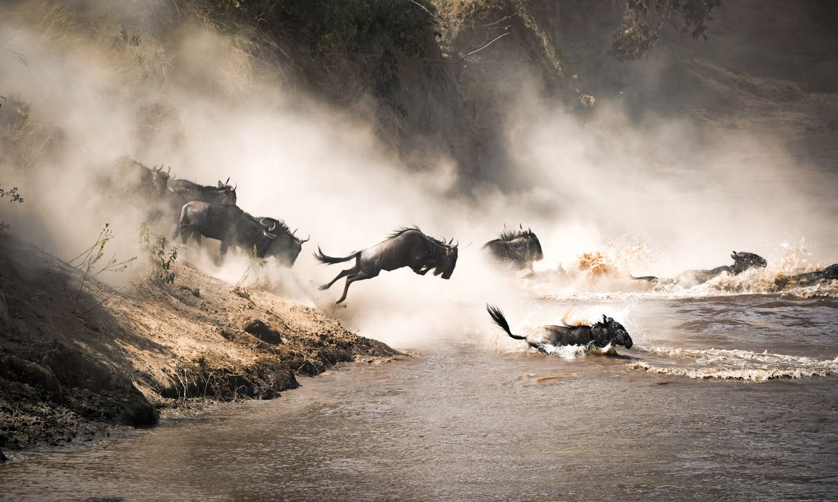 Wildebeest run the gauntlet of crocs and other predators to cross the Mara River during the Great Migration (Shutterstock)