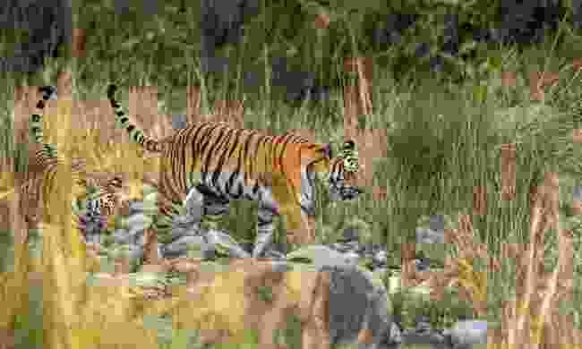 Tigers in the Corbett Tiger Reserve (Shutterstock)