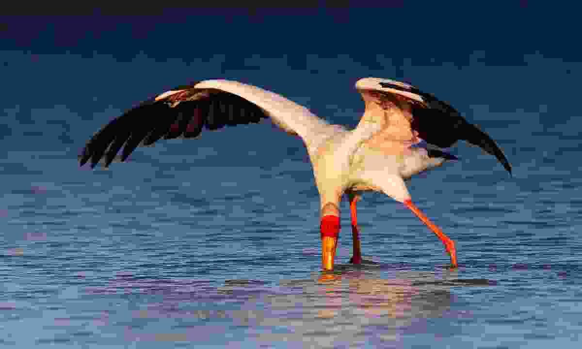 A yellow-billed stork seeking food in Kruger National Park (Shutterstock)