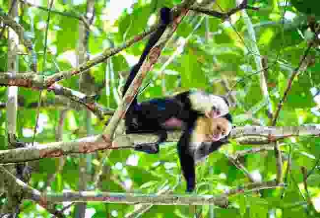 White-faced capuchin monkeys resting on tree in Tortuguero National Park, Costa Rica (Shutterstock)
