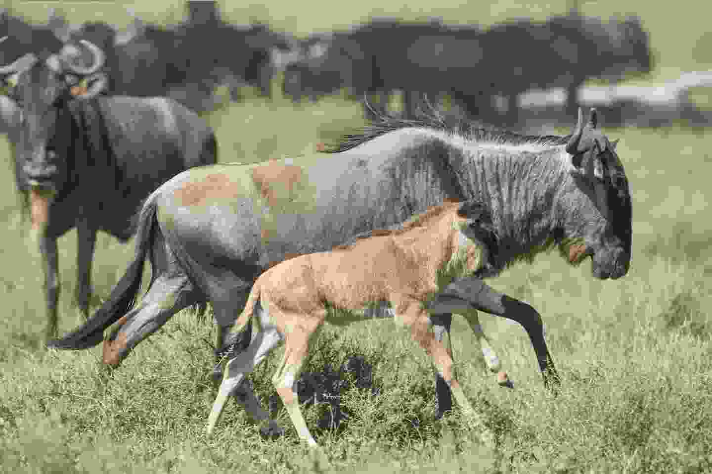 A white beareded wildebeest with its new calf, Ngorongoro Conservation Area, Tanzania (Shutterstock)