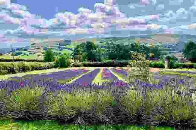 Wye Lavender in the Wye Valley, Wales (Facebook/Wye Lavender of Rhayader)