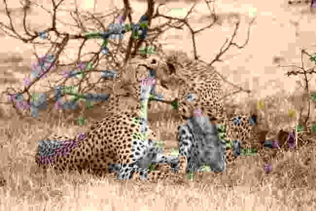 Cheetah mother and cub at the Mara Naboisho Conservancy (Graeme Green)