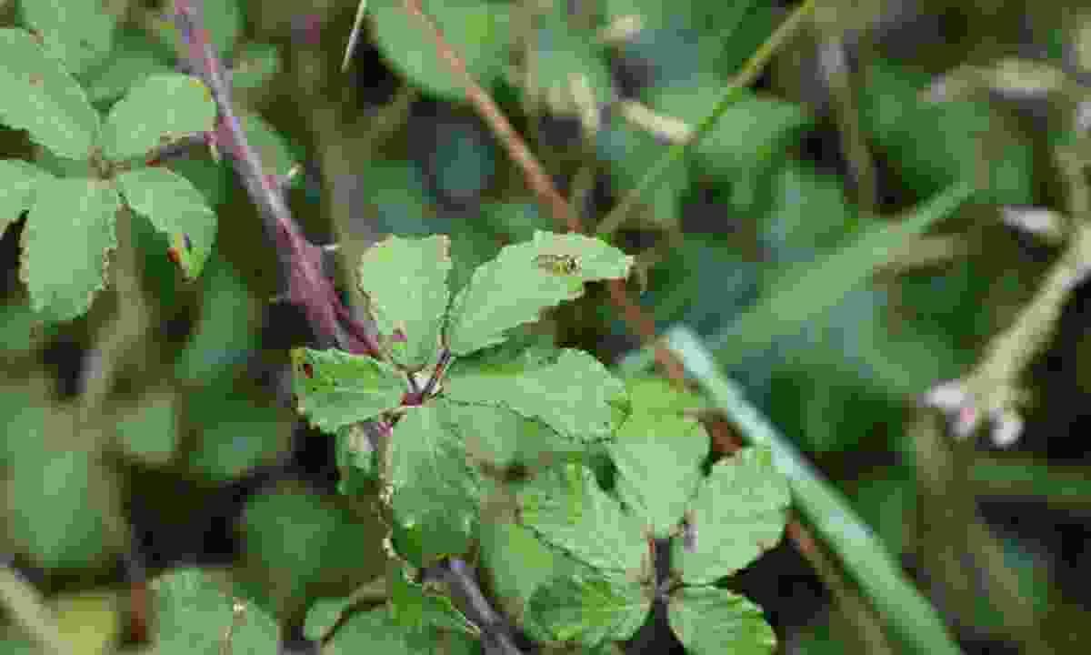 A tiny hoverfly on the brambles (Phoebe Smith)