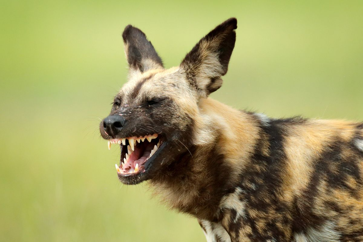 Where can you see African wild dogs?